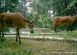 Косули, олени и лоси в Чернобылськой зоне отчуждения